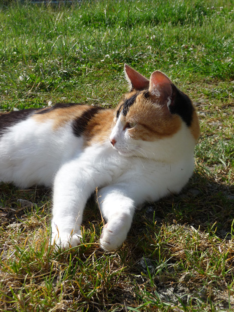 Ambre : ex-chatte errante recueillie par l'Oasis