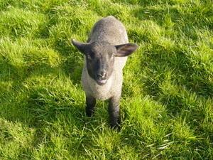 Daisy agnelle sauvée
